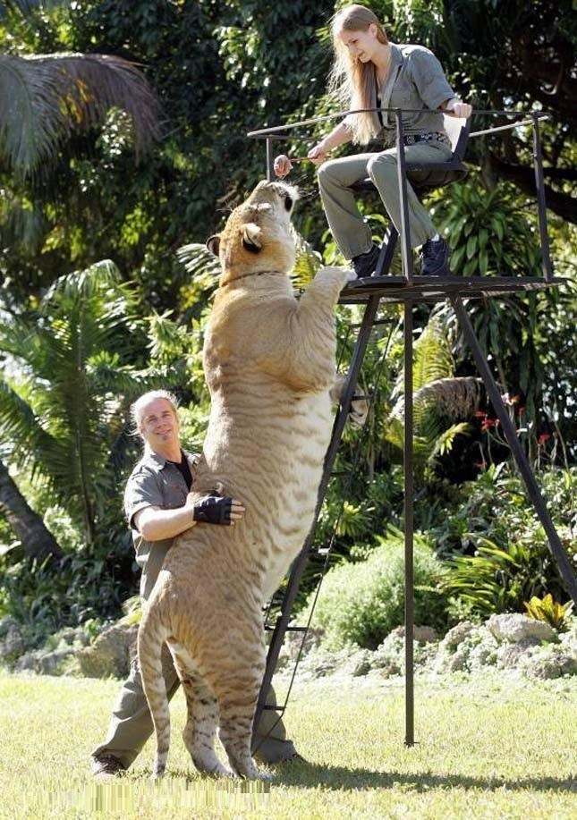 The Biggest Spring 2016 Fashion Trends On Pinterest: Hercules, 922-Pound Liger, Is The World's Largest Living Cat