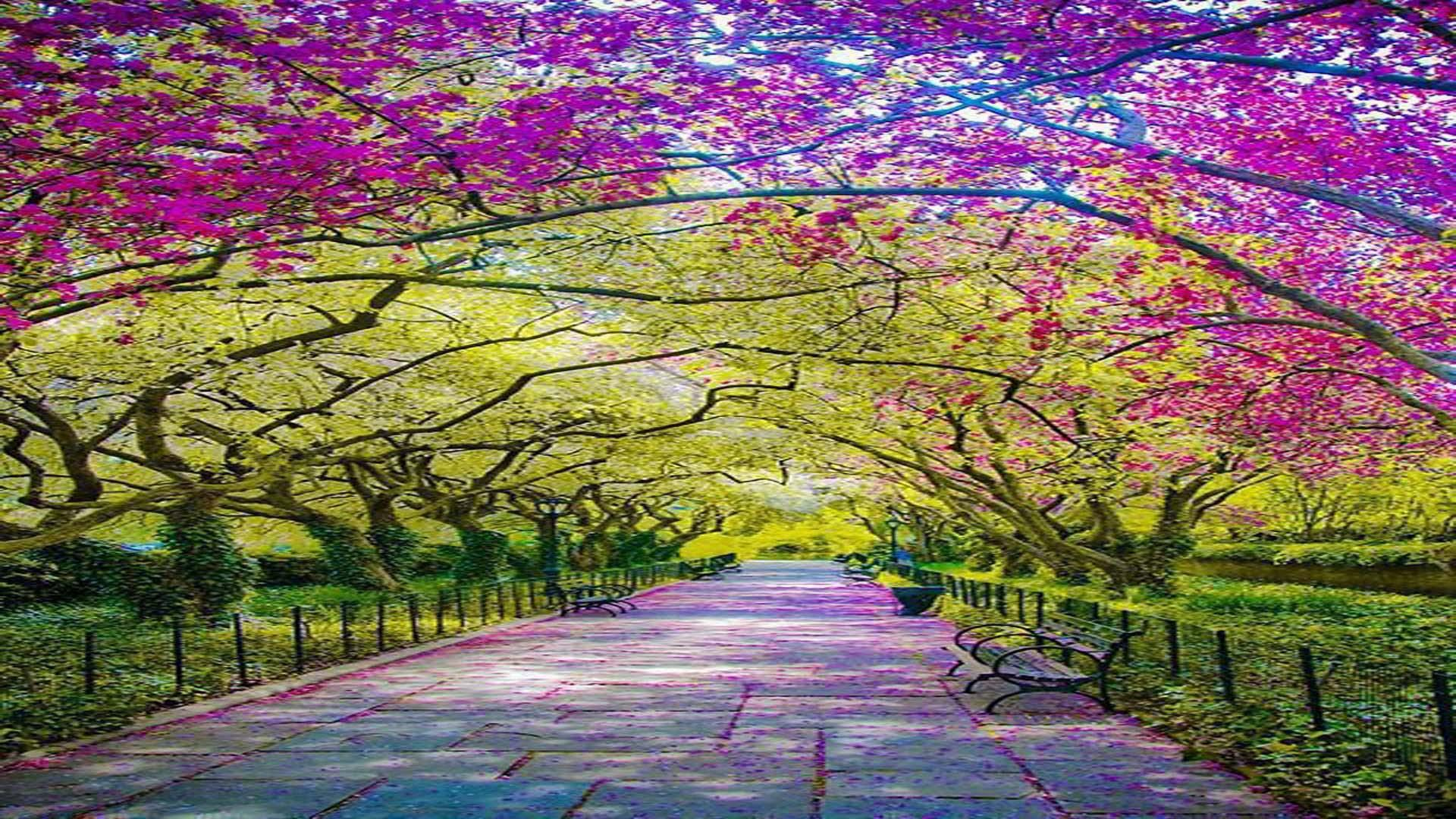 Spring Central Park Awash In Cherry Blossoms In New York City