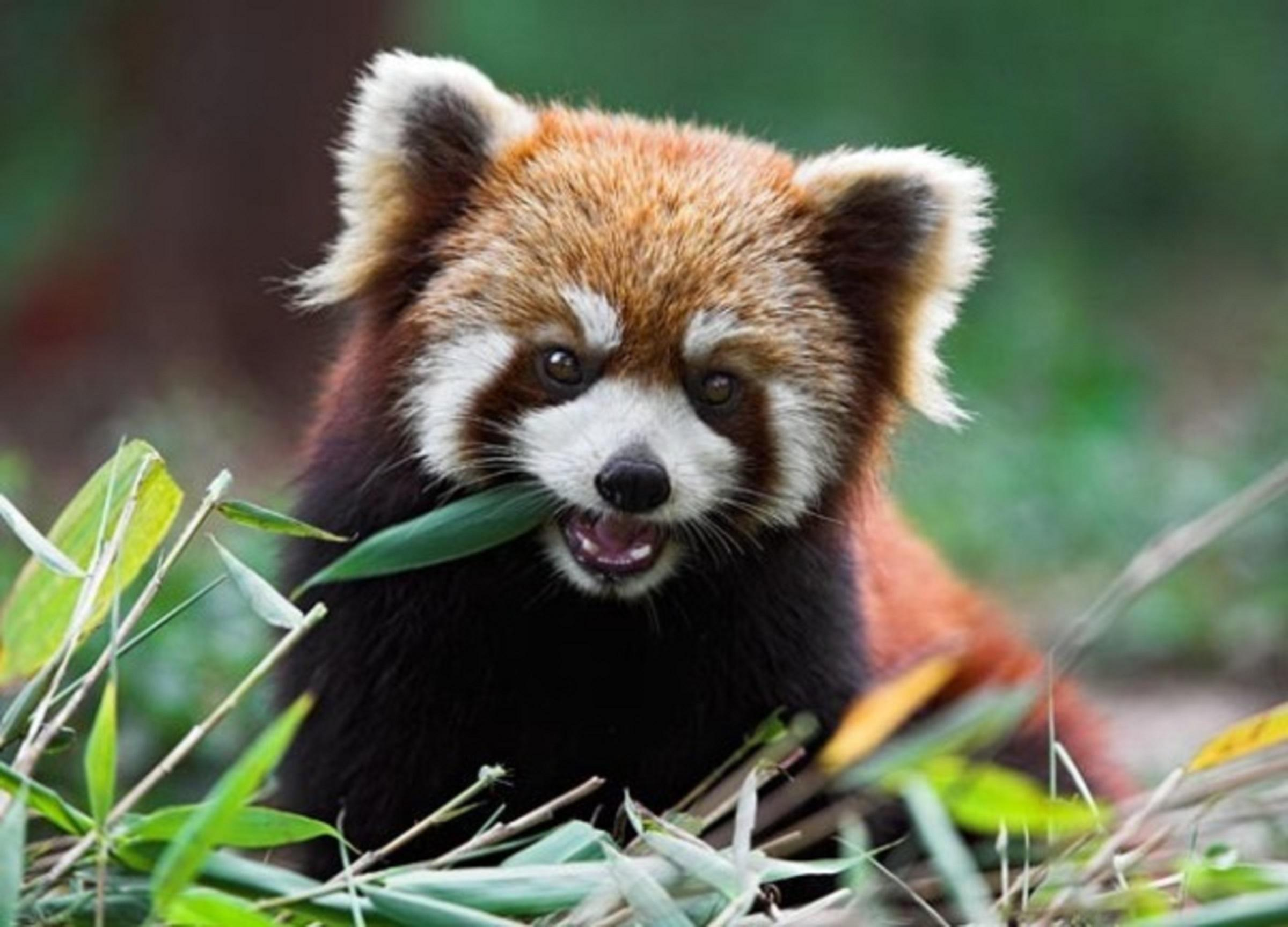 Top 10 Cutest Animals In The World 2014- 4 Red Panda