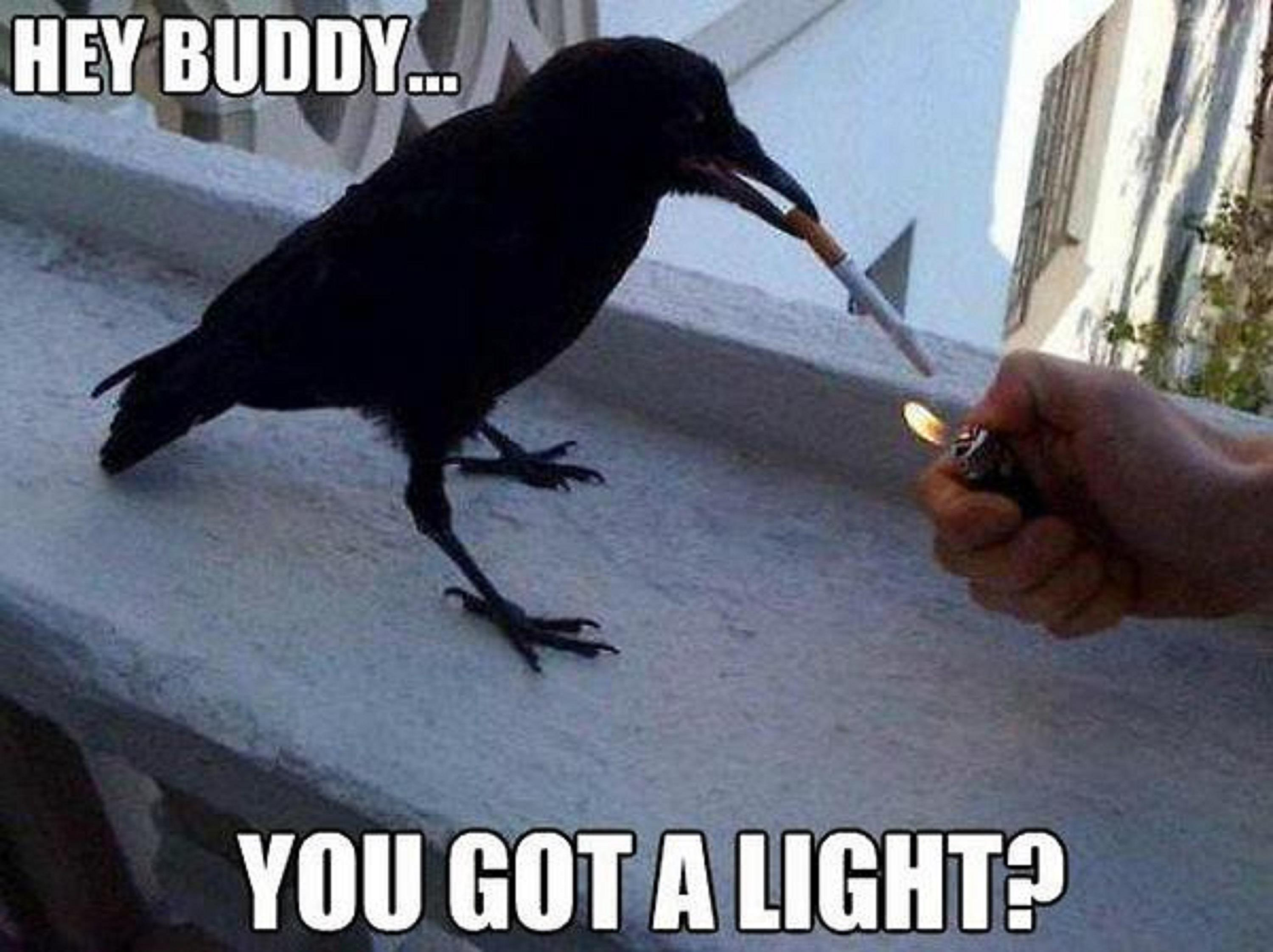 Very Funny Picture Smoking Crow